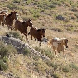 Wild horses are pushed along during a Bureau of Land Management helicopter roundup at the Conger Herd Management Area in Utah in 2016. Photo: Steve Paige