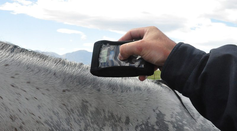 Reading the microchip of a competition horse.