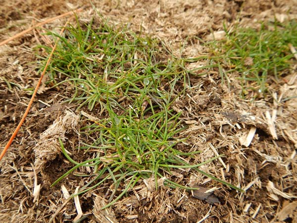 Grass emerging from wild horse droppings in late December benefit from humus and nutrients in the droppings.