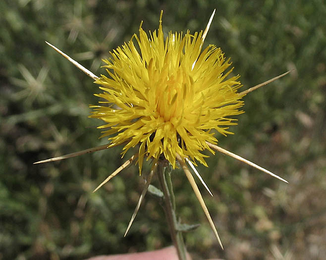The yellow star-thistle, also known as Barnaby's Thistle or knapweed, is a member of the sunflower family.