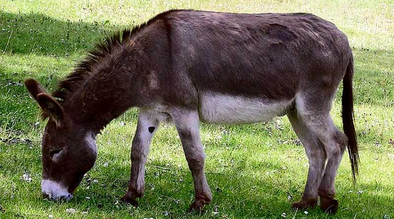 Unlike horses, donkeys are resistant to the Amblyomma sculptum tick.