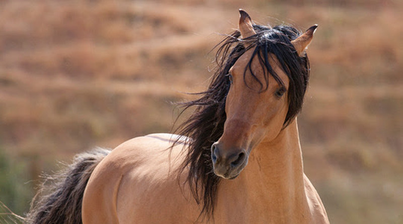 Horse Stars Hall of Fame Inductee Spirit, at RTF's American Wild Horse Sanctuary.