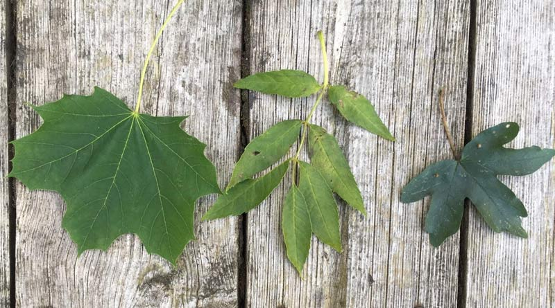 From left: Sycamore leaf, ash leaf, and field maple leaf. The field maple is a different member of the maple family, not believed to be toxic. Common Ash is not a member of the maple family and is not believed to be toxic but has similar helicopter seeds and is often confused with sycamores.