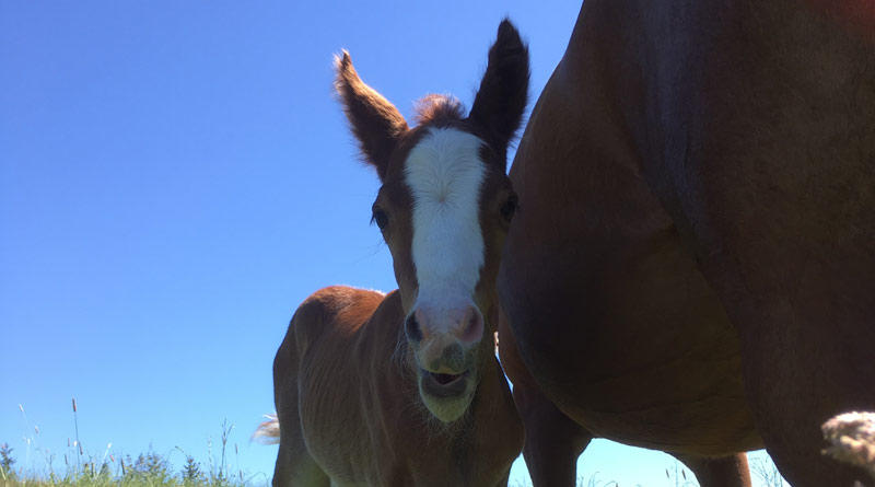 Researchers say the bacterial gut community of foals follows a predictable pattern early in life.