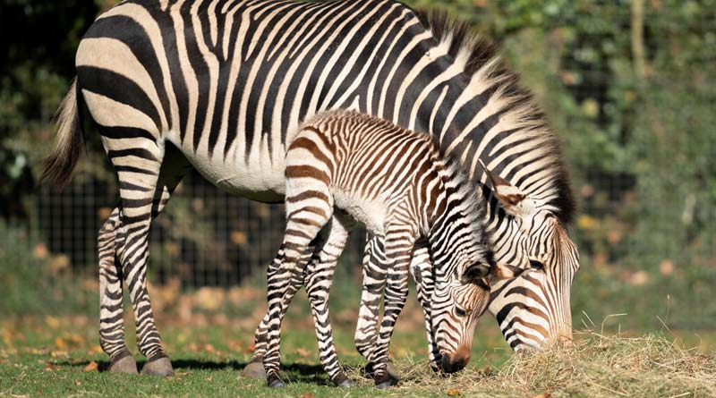 Hartmann's Mountain Zebra mare Dorotka and her foal, who was born at Britain's Marwell Zoo on October 21.