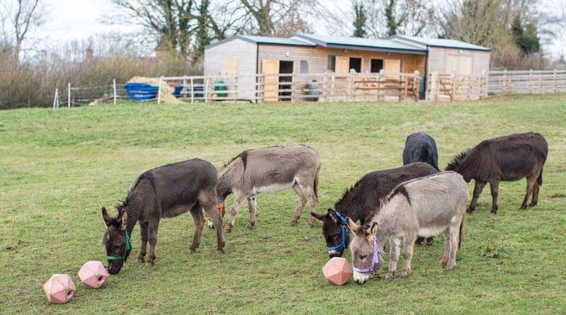 The six donkeys are living the good life with Guardian Sue Upton.