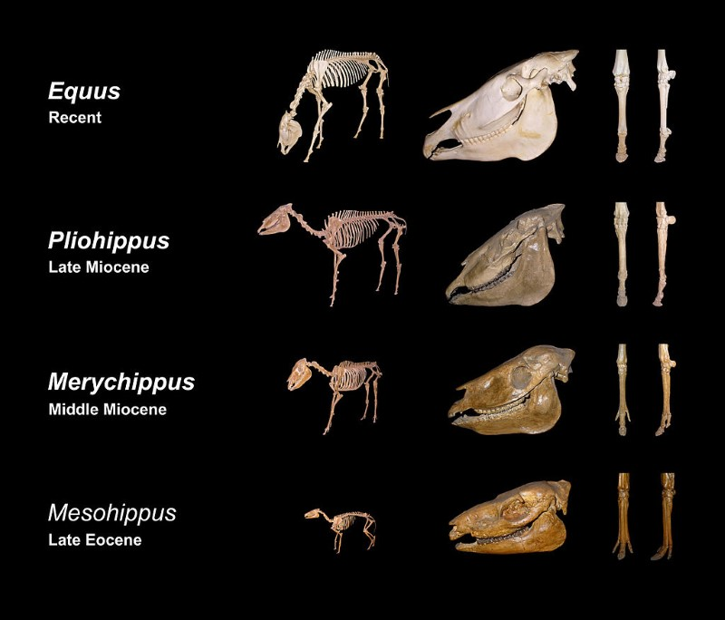 Equine evolution, composed from skeletons of Staatliches Museum für Naturkunde Karlsruhe in Germany. From left to right: Size development, biometrical changes in the cranium, reduction of toes (left forefoot) Image: H. Zell CC BY-SA 3.0