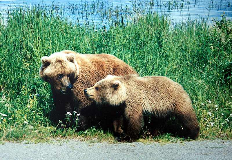 Grizzly bears are found throughout Alaska, parts of Montana and on the Canada–US border in Idaho. They're also found in Yellowstone National Park. Photo: Brocken Inaglory CC BY-SA 3.0 via Wikimedia Commons