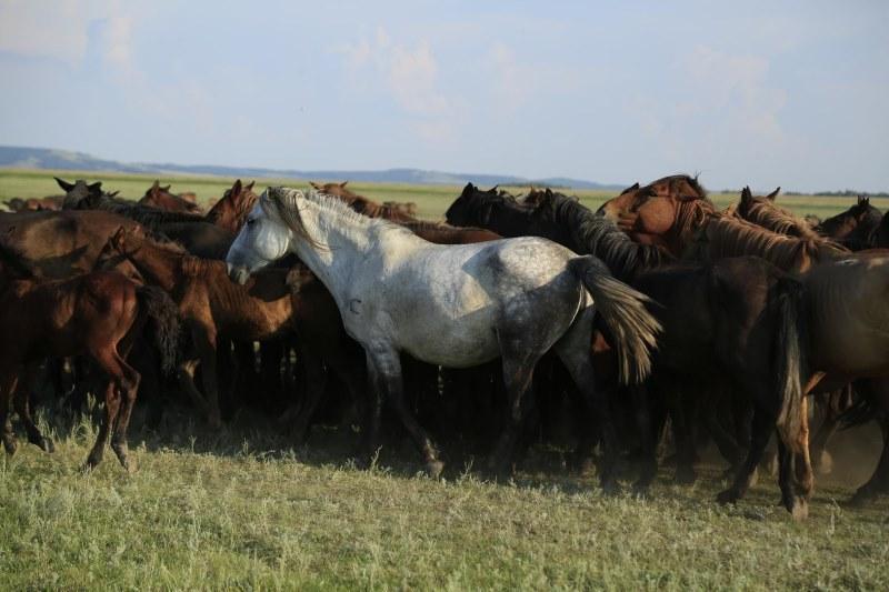 A herd of Kazakh horses in the Pavlodar region of Kazakhstan in August 2016. Photo: Ludovic Orlando