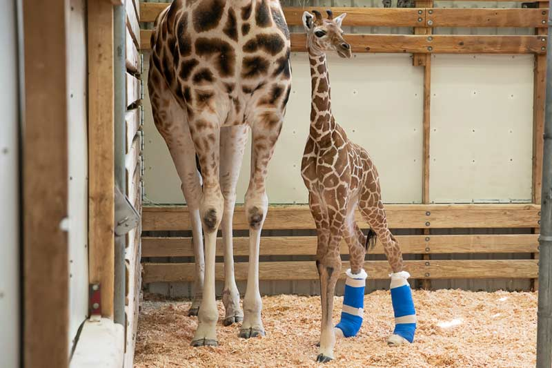 As yet unnamed, the giraffe calf born on May 2 is otherwise healthy.