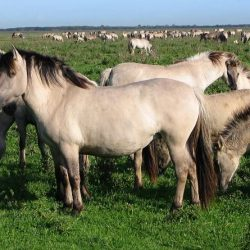 Free-ranging Konik horses in a nature reserve in the Netherlands. Photo: GerardM, CC BY-SA 3.0, via Wikimedia Commons