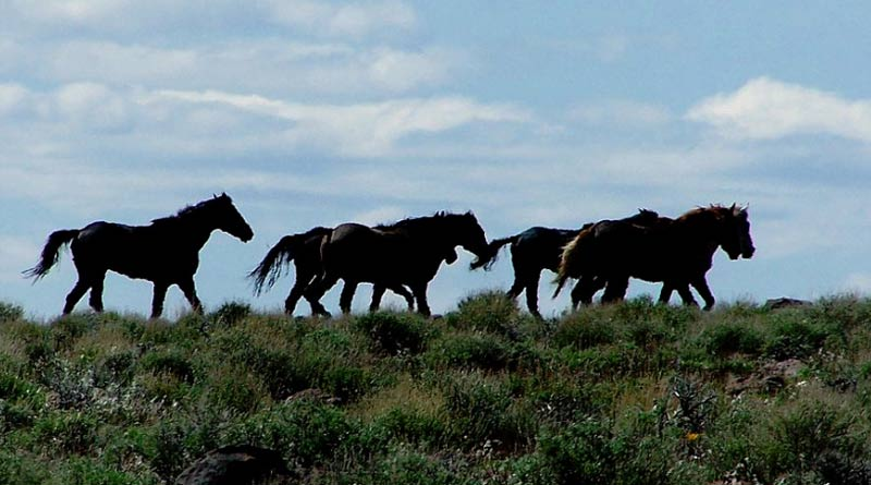 A band of Kiger mustangs on the range. TheKiger mustang is a strain of mustang horse located in the southeastern part of the U.S. state of Oregon.