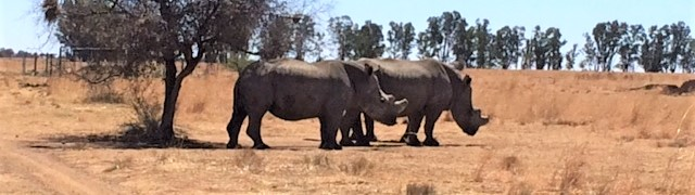 White rhinos, pictured in South Africa in September, 2018.